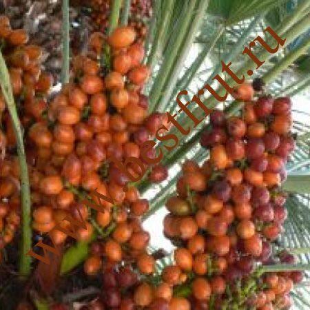 Marmalade tree Мармеладное дерево Studiosikh